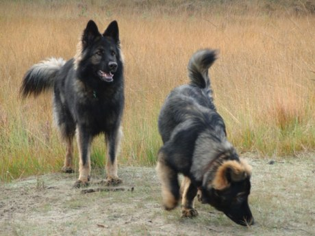 Two_Old_German_Shepherd_Dogs